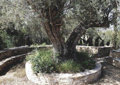 Rustic olive tree